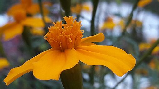 Tagete_lemmonii_fleur