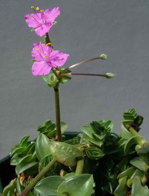 Tradescantia_navicularis_fleur
