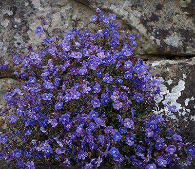 Veronica_peduncularis_Georgia_Blue