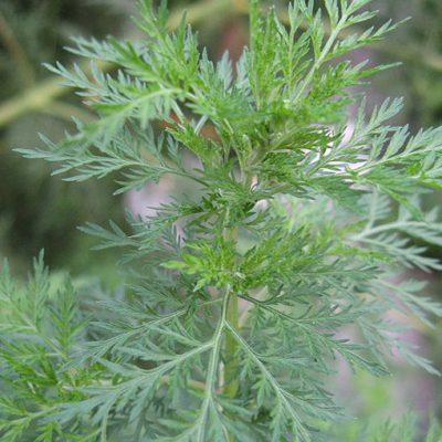 Artemisia_annua_Armoise_annuelle_Bio