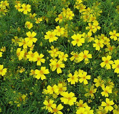 Tagetes_tenuifolia_yellow_Tagetes_Bio