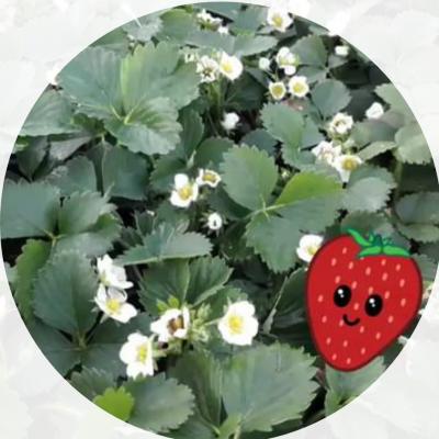 fraisiers_bio